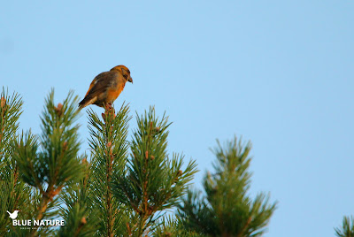 Piquituerto común (Loxia curvirostra), los colores rojizos y anaranjados nos indican que se trata de un macho.