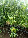 टोमॅटो🍅, वांगी, सिमला मिरची लागवड ते तोडणीपर्यंत खतांचे व्यवस्थापन, Tomato 🍅,vangi, shimala mirchi lagvad te todni paryant vyavasthapan.