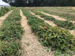 one of Franklin's strawberry patches