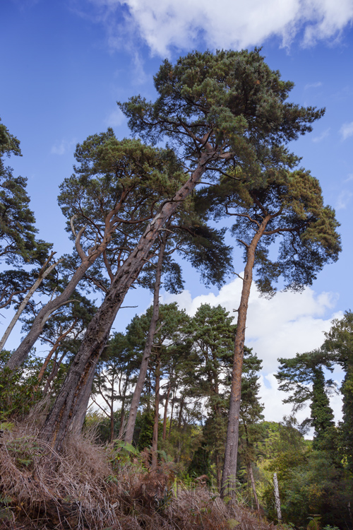 Brownsea Island trees reach into the sky off the Dorset coast