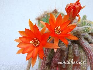 サボテン(ビャクダンの花)