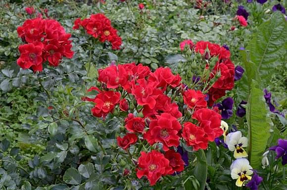 Matador сорт розы купить саженцы Минск фото