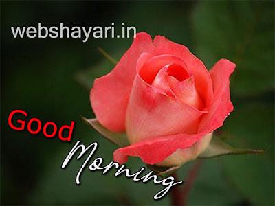pink rose good morning photo download images