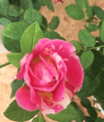 Hoa hồng 3