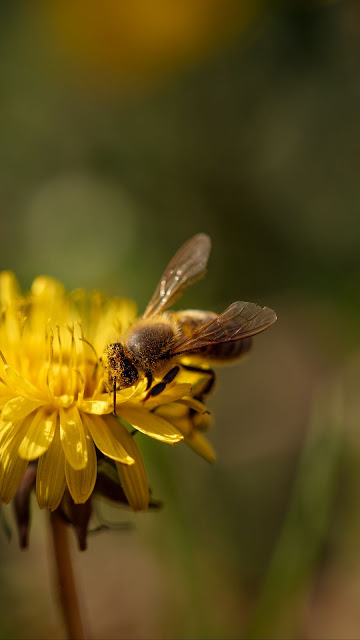 Bee, Dandelion, Flower.  Download free hd wallpaper and background image