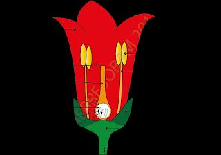 Types des fleurs chez les angiospermes