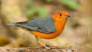 10 Burung Berkicau Terpopuler 2020 Tirta News