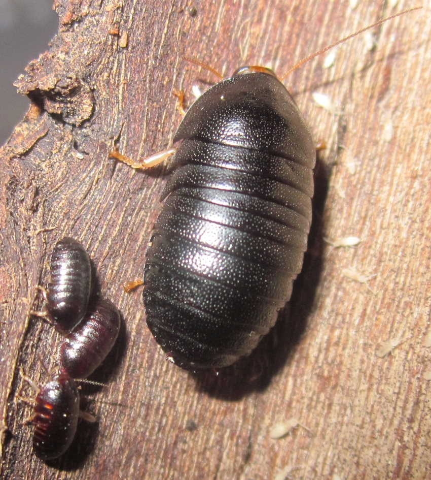 C.pygmaea%25231.JPG