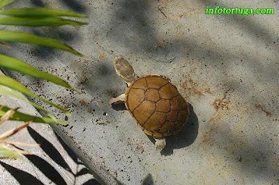Kinosternon flavescens - Tortuga del fango amarilla