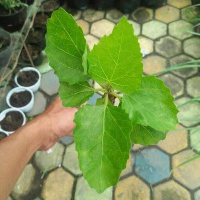 Bibit buah tin green yordan hasil cangkok Jawa Barat
