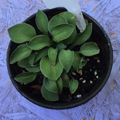 Green Mouse Ears Hosta in Pot