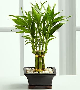 When You Go To The Home Furnishings Bamboo Plants Lucky Will Find These In Pots Are Temporary So Need A Vase Or