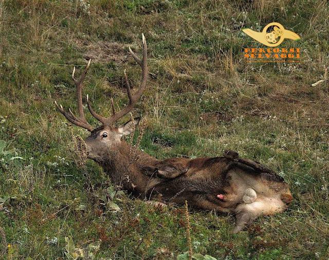 cervo che si rotola a terra