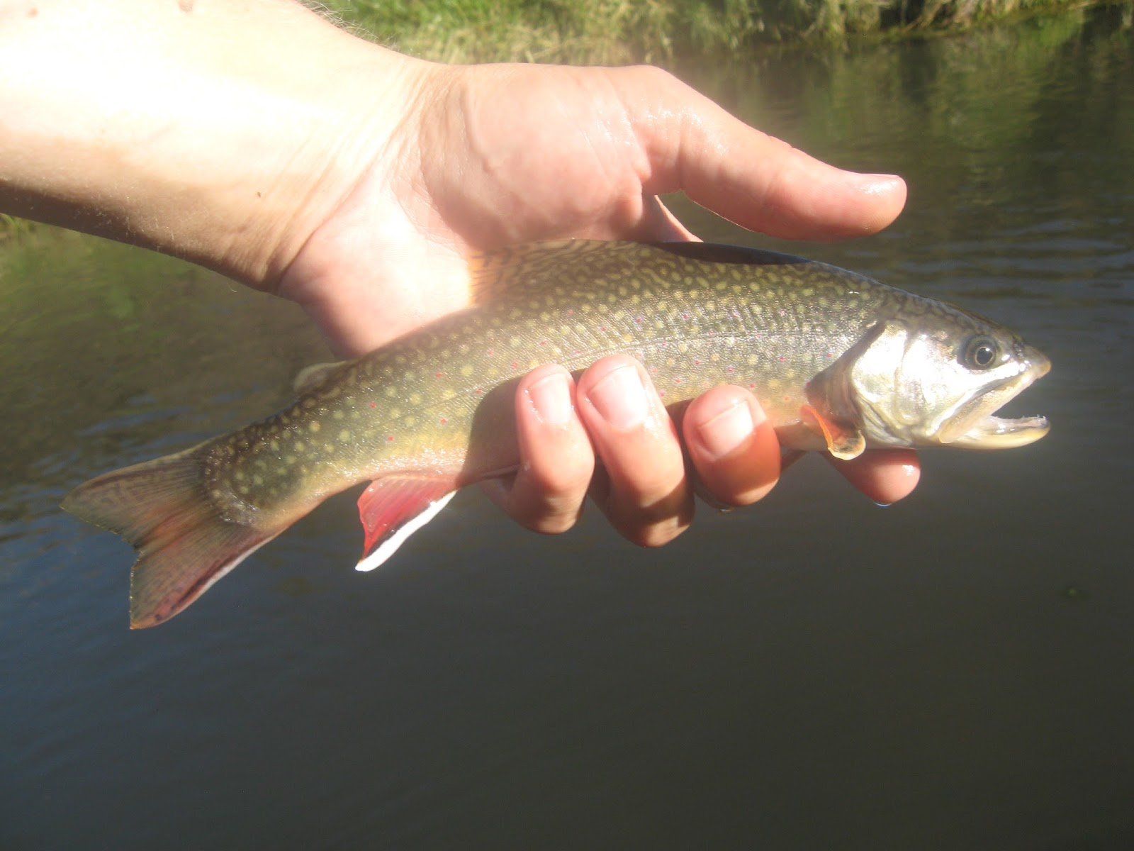 Minnesota driftless fly fishing trip report love is in for Driftless fly fishing