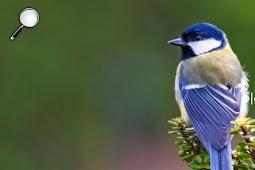 Gelatik biru adalah burung yang hobi bercerai saat musim kawin pertama
