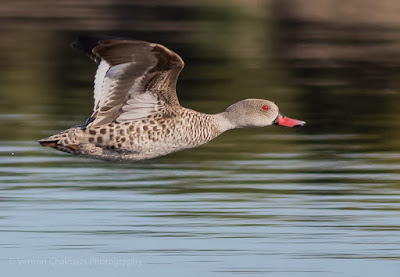 Cape Teal Duck with Canon EOS 7D Mark III Vernon Chalmers Photography Copyright