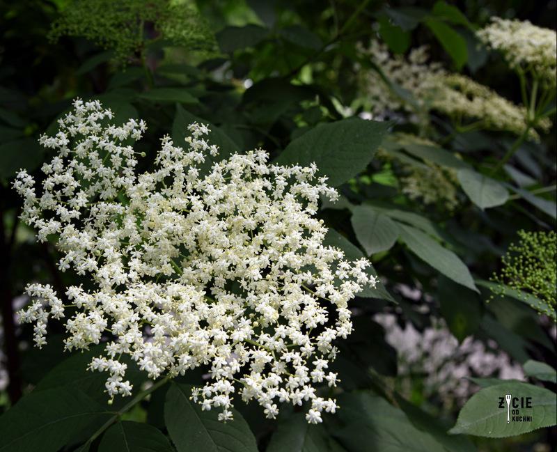 kwiaty czarnego bzu, czarny bez,