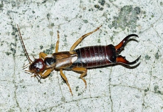 How to Exterminate or Get Rid of Earwigs?