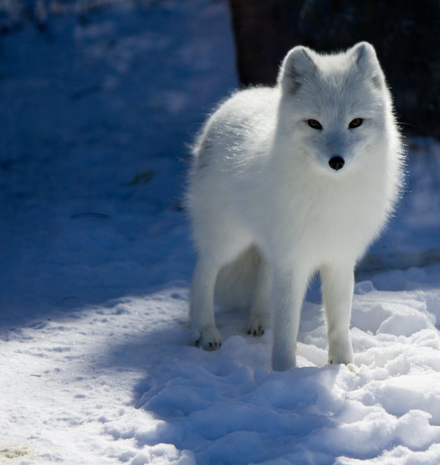 arctic fox animals tundra observant foxes penguin snow zorro artico wild biome antarctic winter course captivity