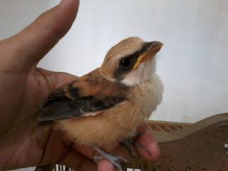 merawat burung cendet anakan