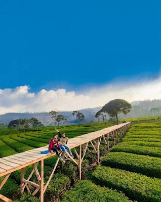kebun teh riung gunung