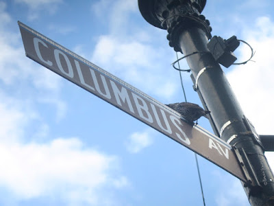 This picture features a European starling perched on a street sign that reads Columbus (which is an avenue on the Upper Westside in NYC).