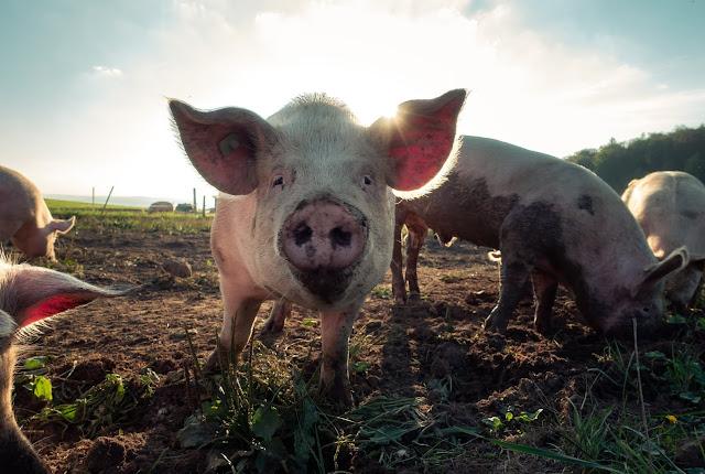 Luft und Licht für Schweine