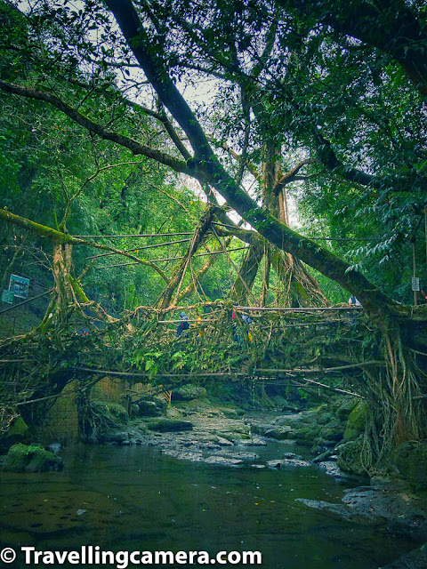 Living root bridges are a form of tree shaping common in the southern part of the Northeast Indian state of Meghalaya. They are handmade from the aerial roots of rubber fig trees  by the Khasi and Jaintia peoples of the mountain terrain along the southern part of the Shillong Plateau. Root bridges have also been observed in the Indian state of Nagaland, which is also located in north east part of the country.