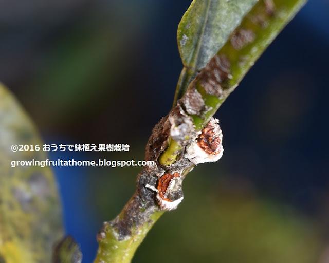 柑橘類の害虫イセリアカイガラムシ