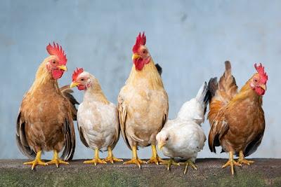 Daur Hidup Ayam + Cara Berkembang biak nya