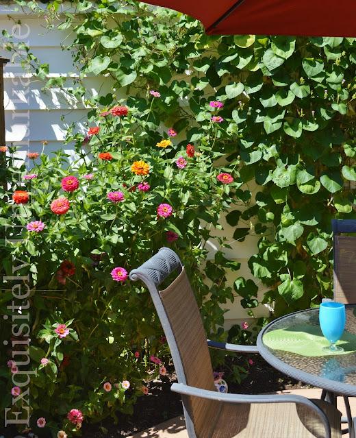 Zinnias blooming in a patio area garden