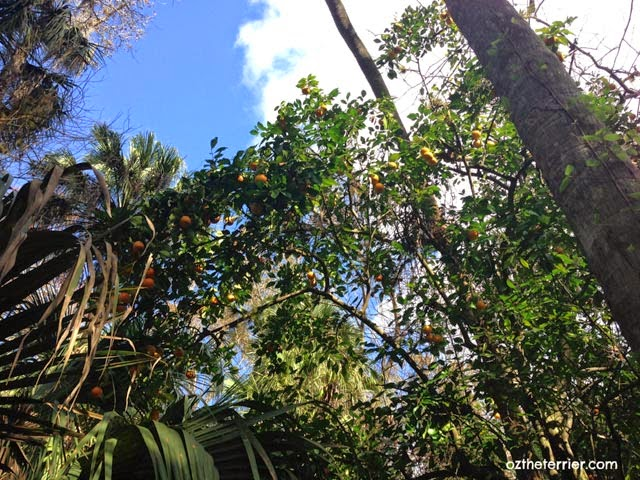 wild oranges grow on highlands hammock grove trail