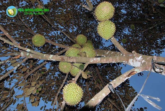 Trái cây theo mùa - Sầu Riêng chín vào tháng 6, 7, 8