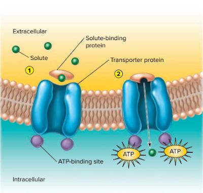 jenis jenis transport aktif, transport ion ke dalam sel, transport ion K+, Na+, dan H+ , Transport gula, asam amino,vitamin ke dalam sel