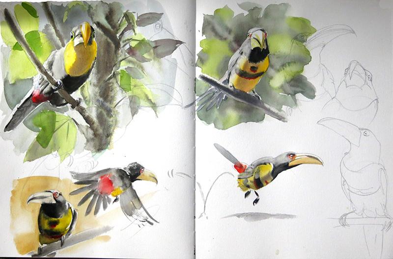 Choco toucan, pale-mandibuled araçari, aquarelle, watercolor