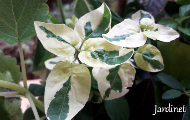 Coromandel -Asystasia gangetica