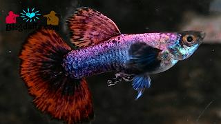 Jenis ikan guppy magenta