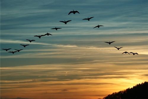 Tại sao đàn chim bay theo đội hình chữ V
