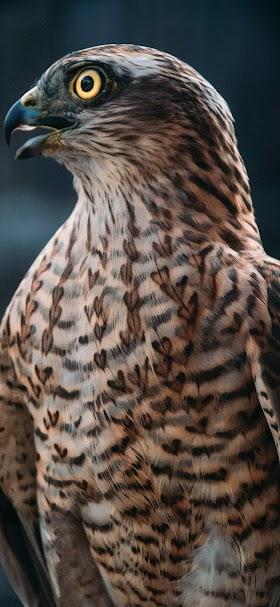 خلفية صقر الباز المرقط أصفر العين