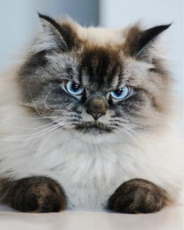Angry, grumpy Merlin a Ragdoll cat