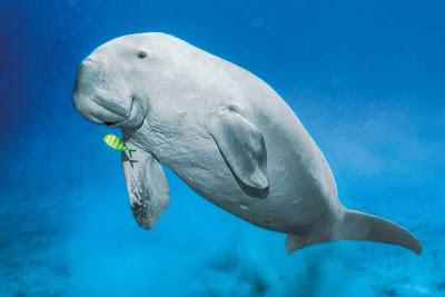 Duyung (Dugong dugon)