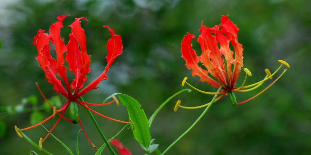 Image result for கார்திகைப் பூ காந்தள்