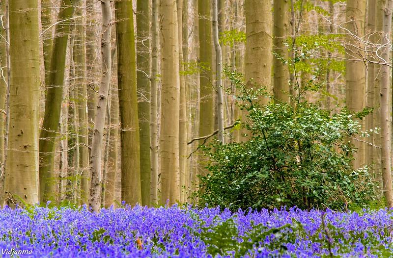 blue forest, forest belgium, belgium forest, forest in belgium, forests in belgium, bluebell forest, bluebells forest, bluebells in forest, hallerbos forest, halle belgium, hallerbos belgium, the blue forest, belgian bluebells, blue forest belgium, hallerbos forest belgium, bluebell forest belgium, the blue forest halle belgium,  belgium bluebell forest