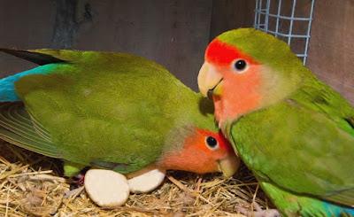 Lovebird bertelur