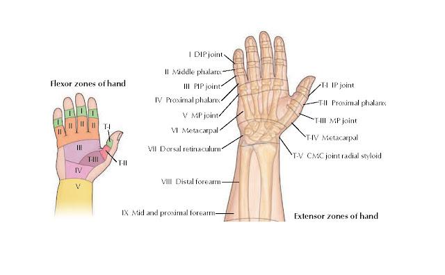 Flexor and Extensor Zones of Hand Anatomy