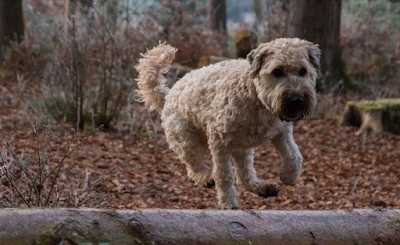 Italian Dog Breeds List, Italy Dog Breeds