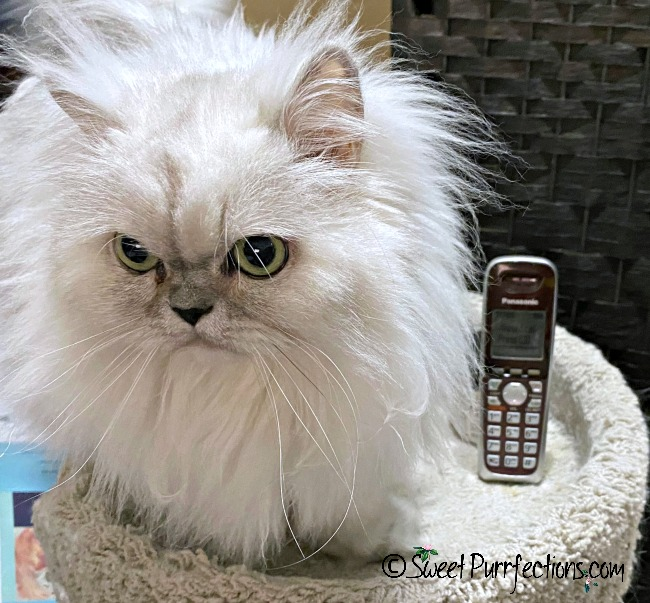 silver Persian cat and telephone