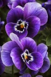 Anggrek violet