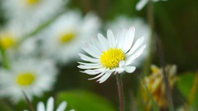 Wallpaper garden, chamomile, flowers, petals, grass