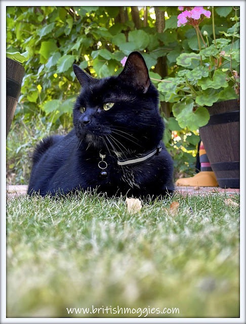 black cat in the garden,  black cat, cats, english garden